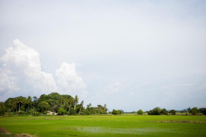 padi sawah, penang, malaysia, farm, rice, rice farm